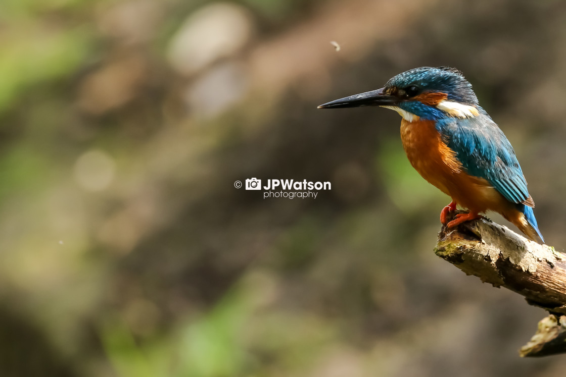 """""""Portrait of a Kingfisher"""" stock image"""