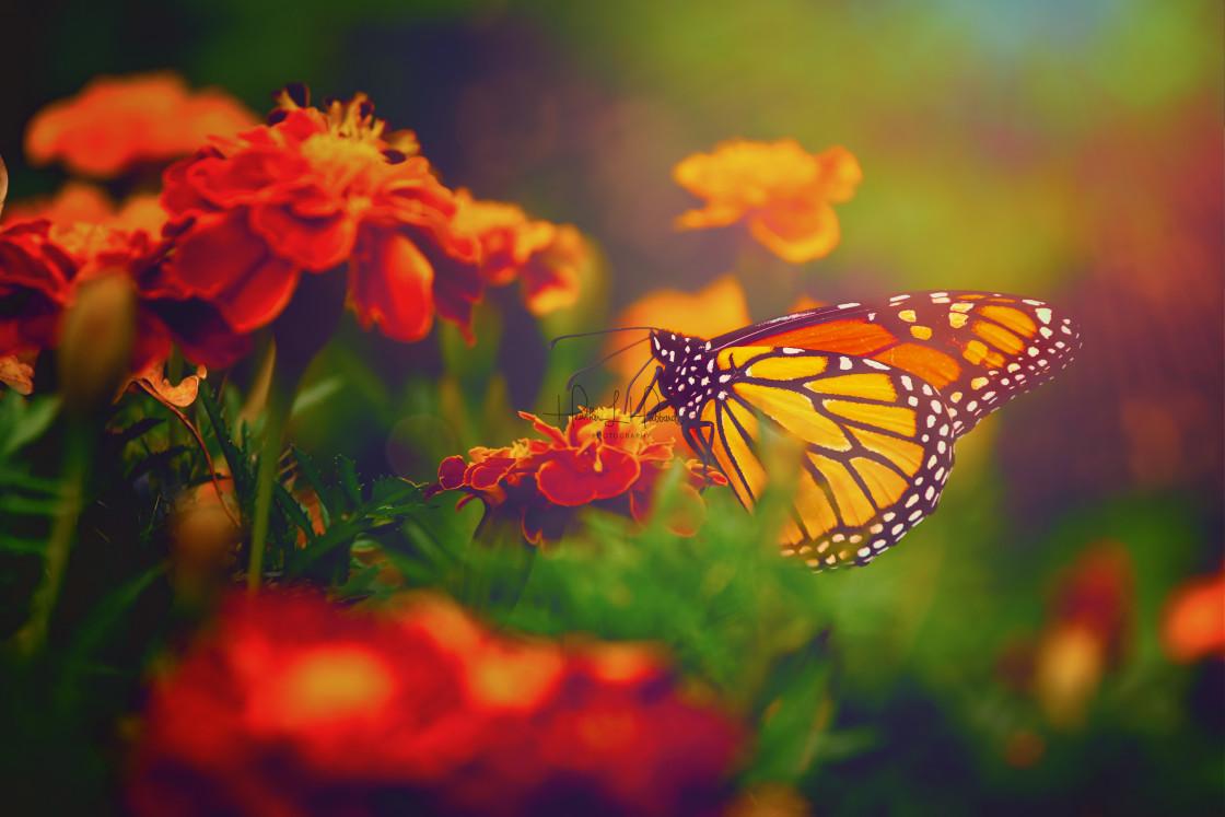 """Monarch"" stock image"