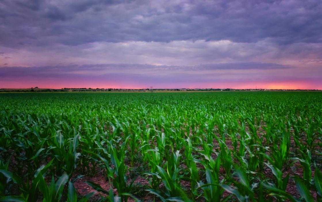 """""""Kansas Cornfield"""" stock image"""