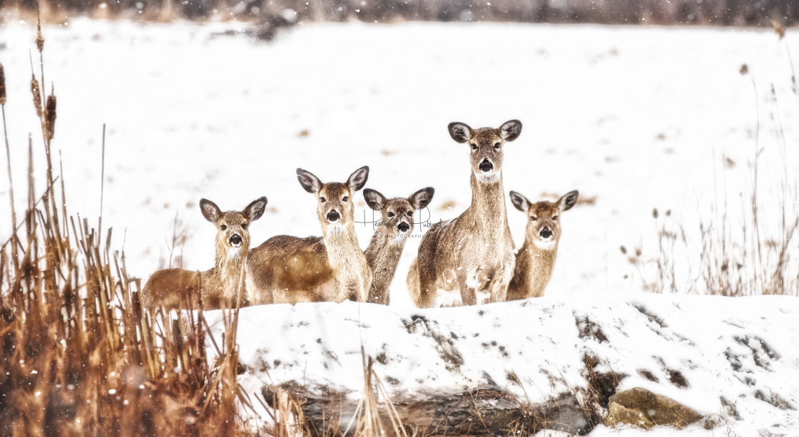 """The Herd"" stock image"