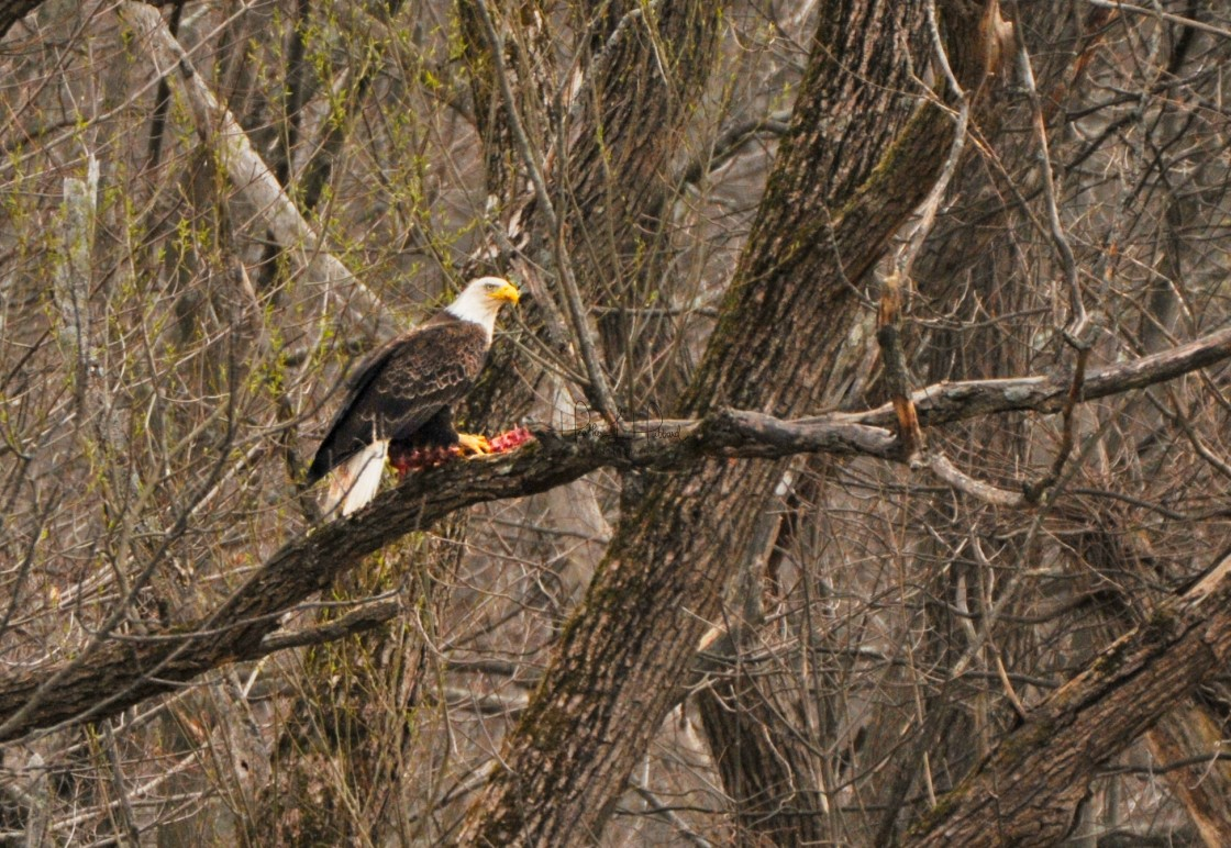 """""""Eagle and Prey"""" stock image"""