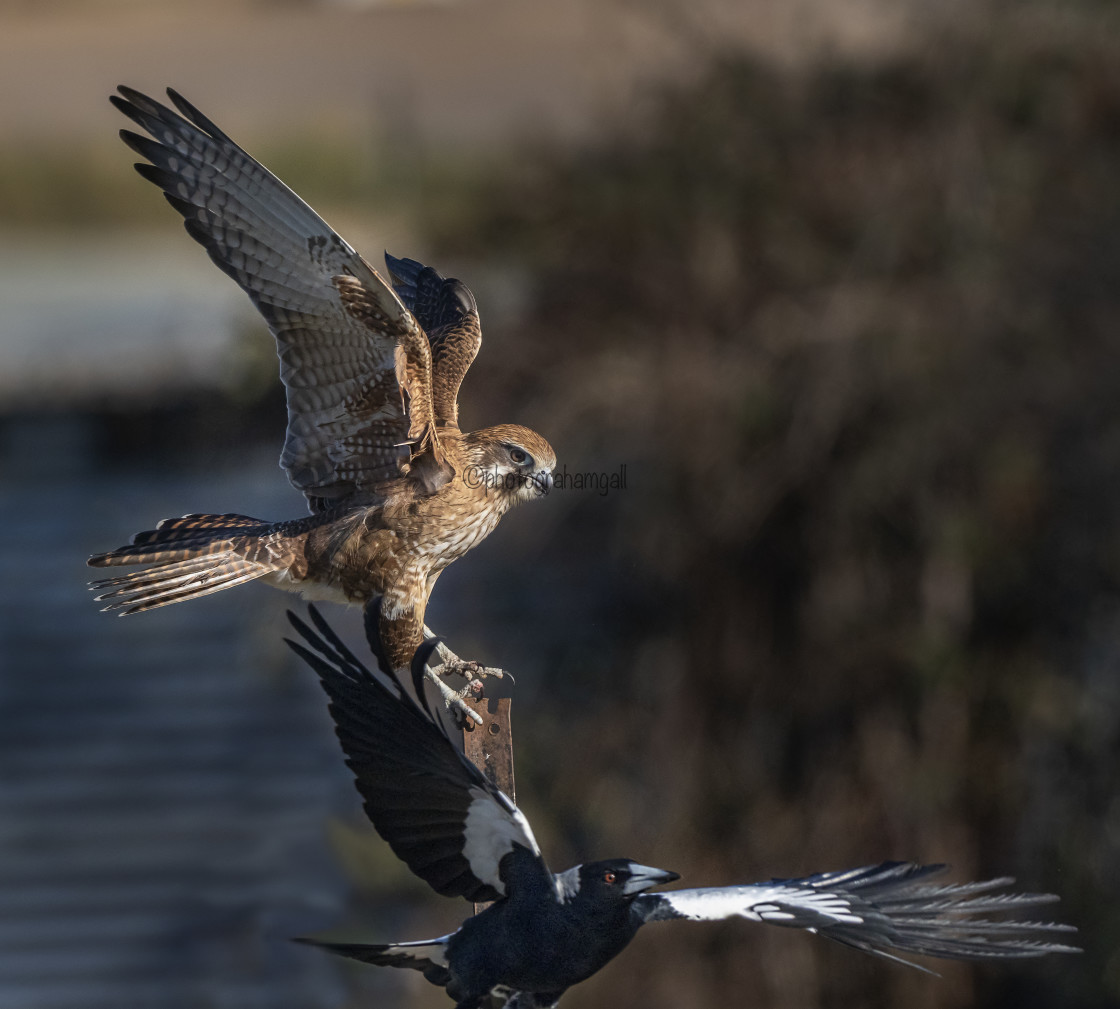 """Brown Falcon under attack"" stock image"