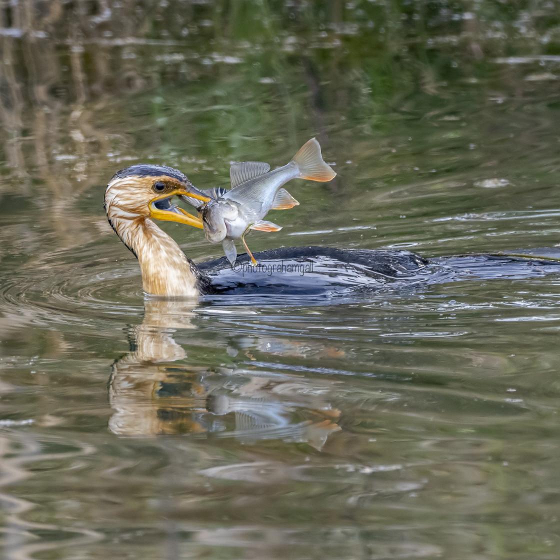 """Little Pied Cormorant Fishing#1"" stock image"
