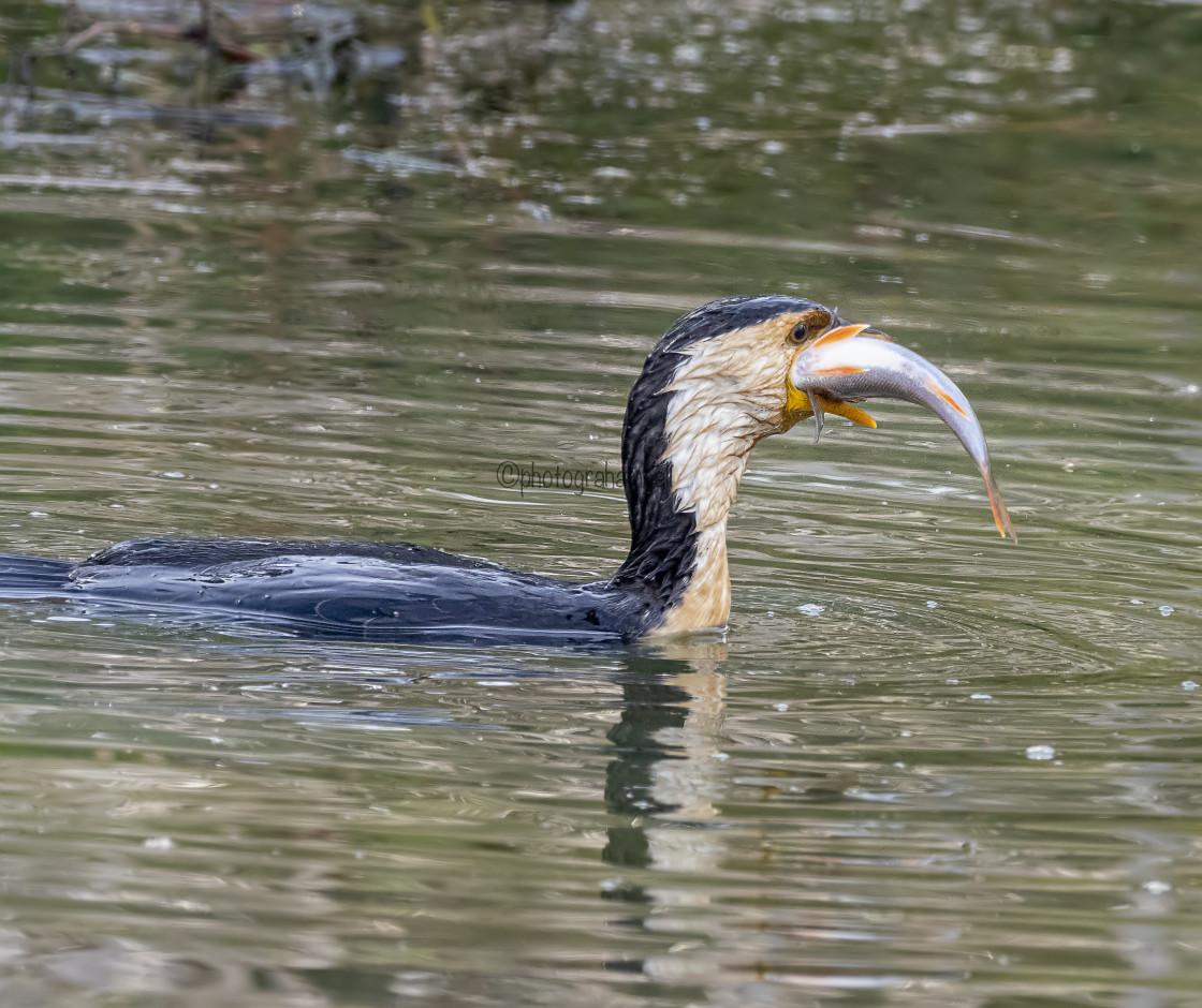 """Little Pied Cormorant Fishing#3"" stock image"