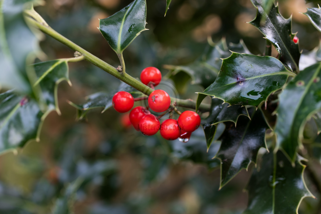 """""""Holly berries and leaves in the rain, macro"""" stock image"""