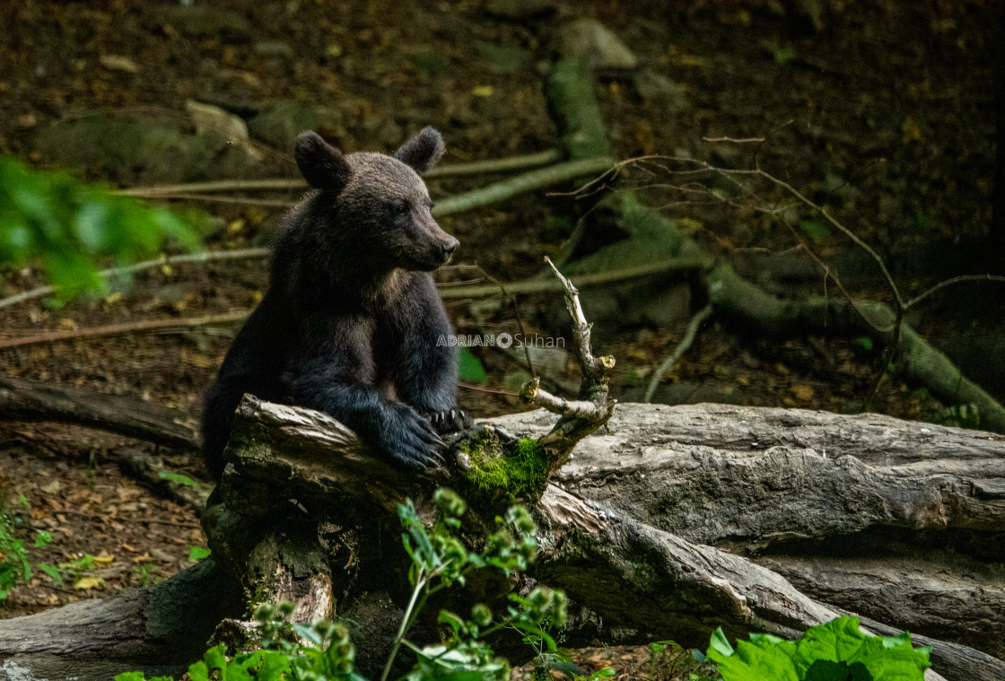"""Bear cubs in the forest"" stock image"