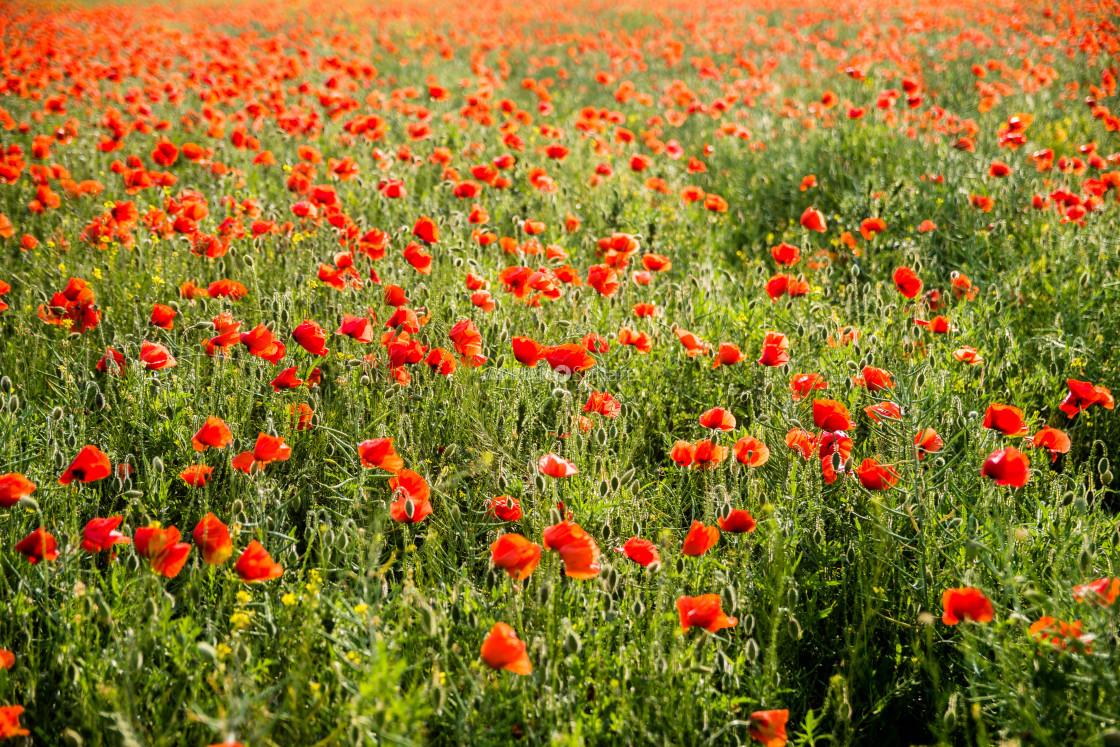 """""""Poppy flower field"""" stock image"""