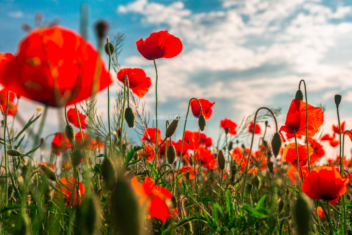 """Poppy flower field"" stock image"