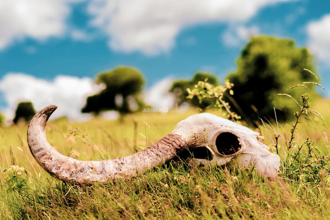 """Ram skull"" stock image"