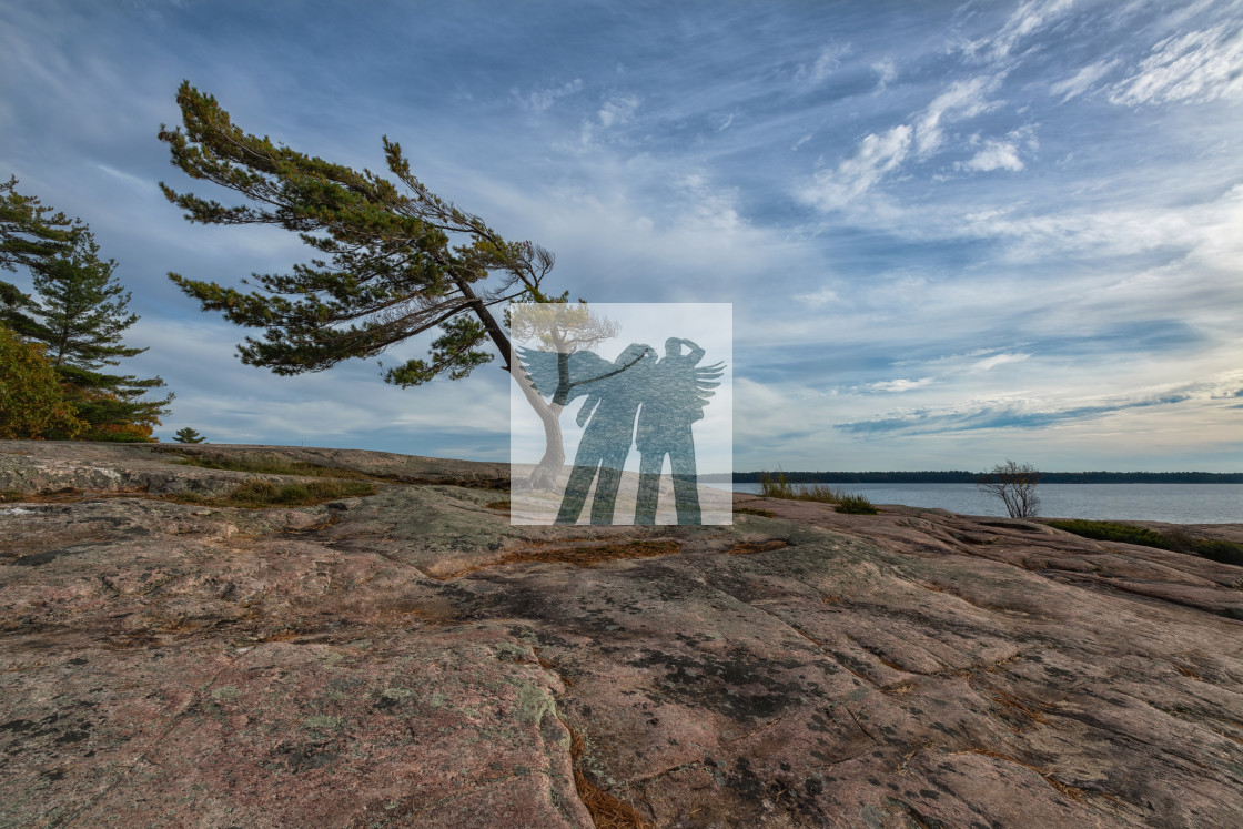 """The Windswept Pine"" stock image"