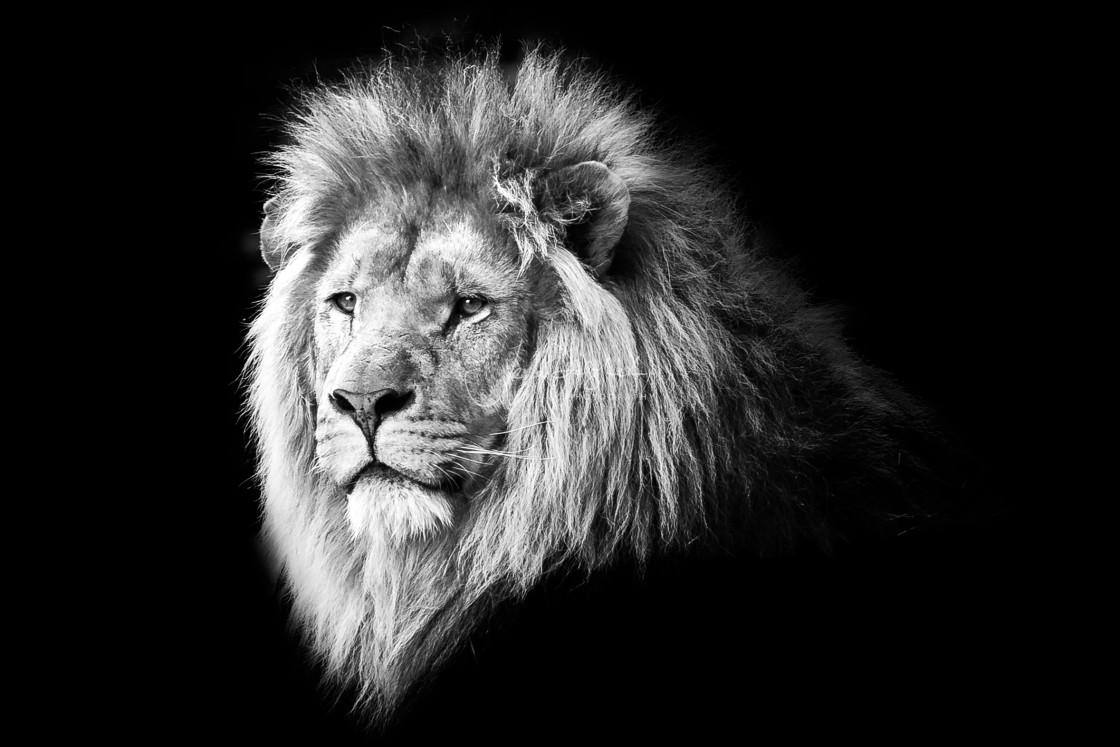 """Male Lion, Longleat, Wiltshire, UK"" stock image"