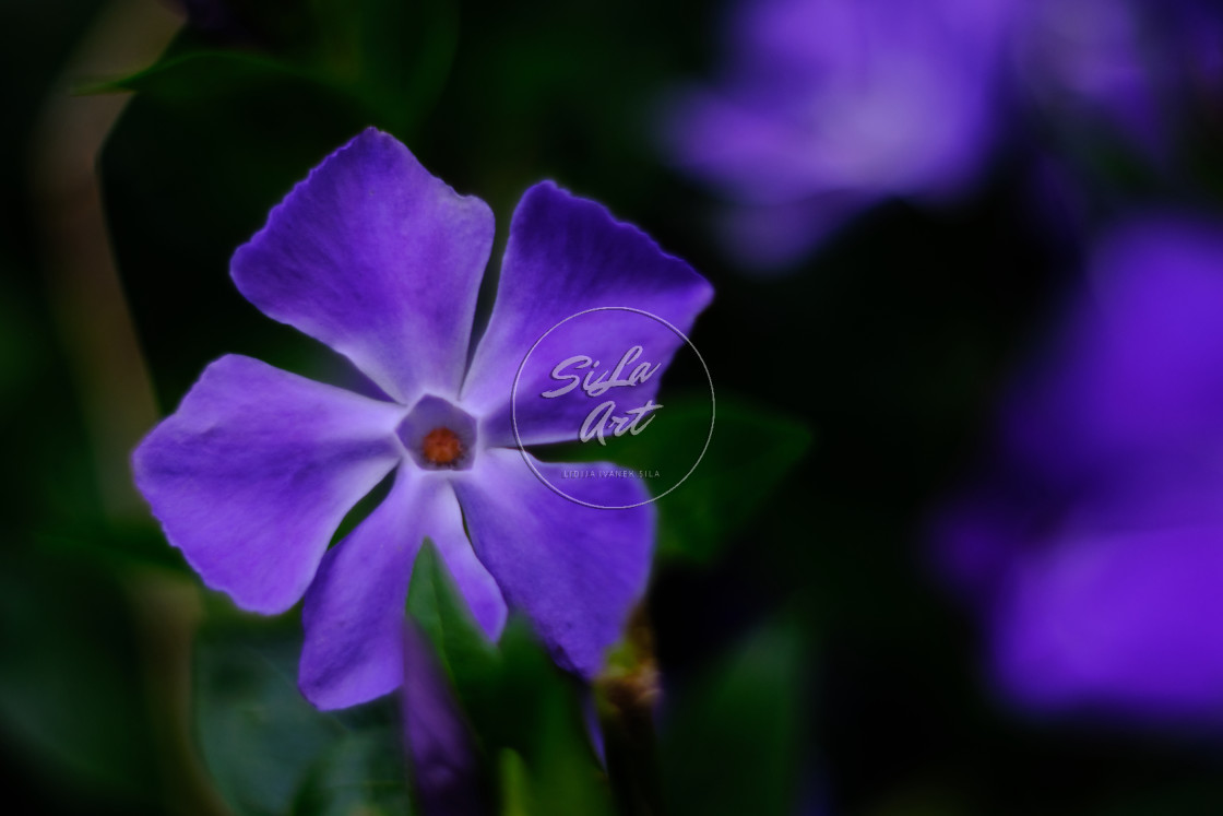 """""""Periwinkle Violet"""" stock image"""