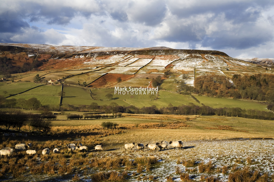 """Sheep Grazing in Farndale in Winter"" stock image"