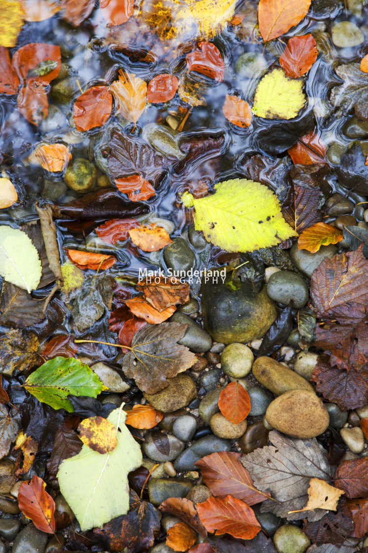 """Fallen Leaves by the River Wharfe in Strid Wood"" stock image"
