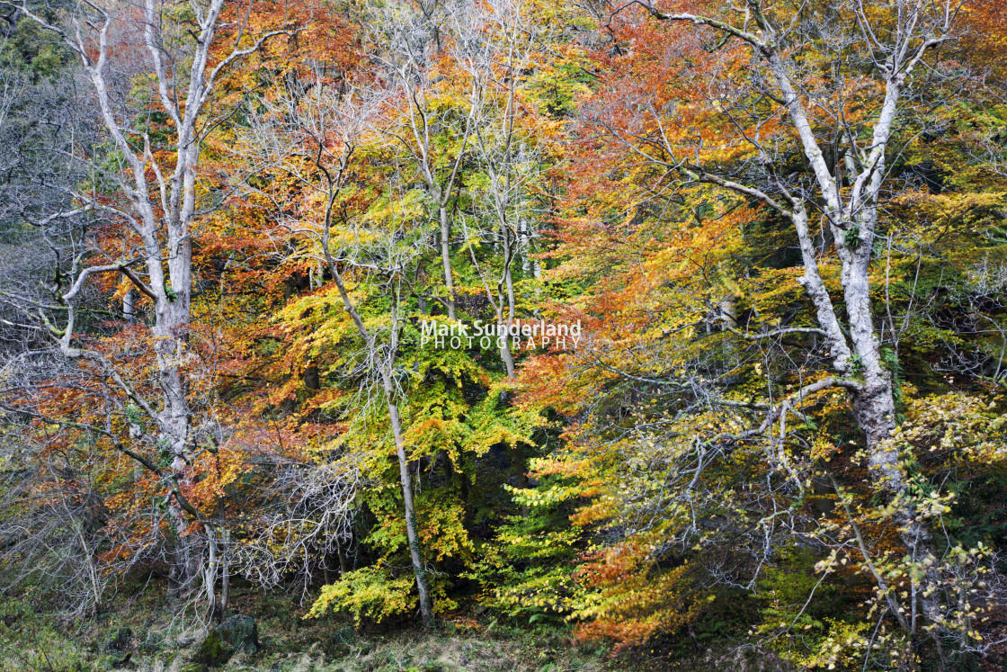 """""""Strid Wood in Autumn"""" stock image"""