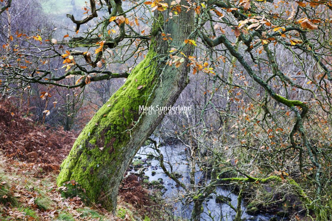 """""""Autumn Tree near Bolton Abbey"""" stock image"""