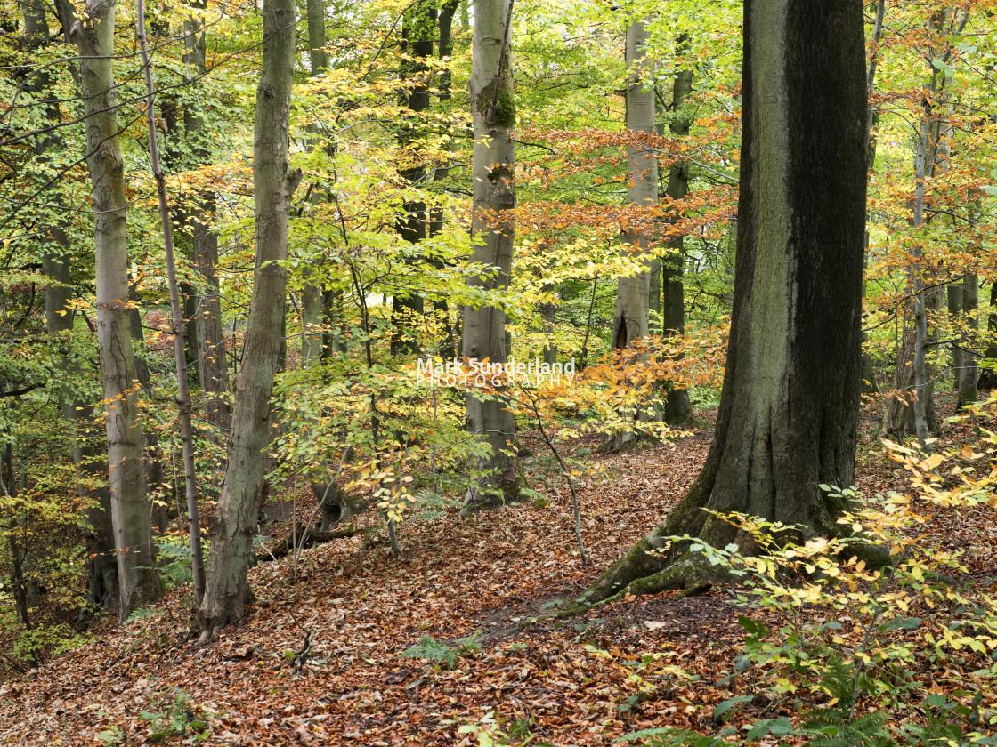 """""""Skipton Woods in Autumn"""" stock image"""