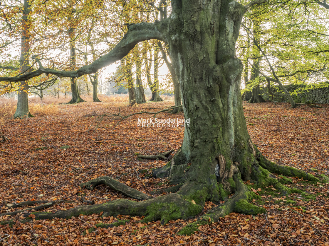 """Autumn Tree in Skrikes Wood near Pateley Bridge"" stock image"