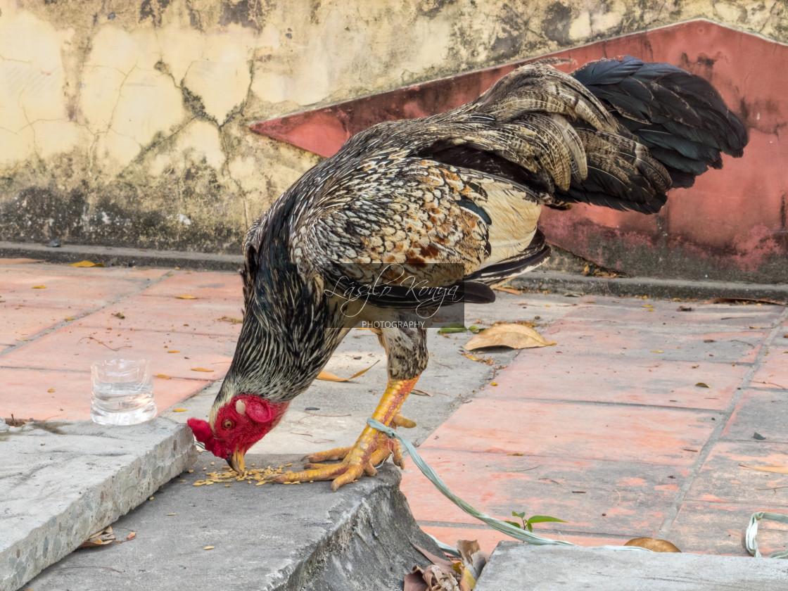 """""""Rooster - Ba Chuc"""" stock image"""