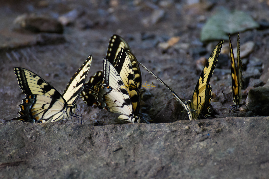 """""""Butterfly Nation: Tiger Swallowtail Butterflies"""" stock image"""