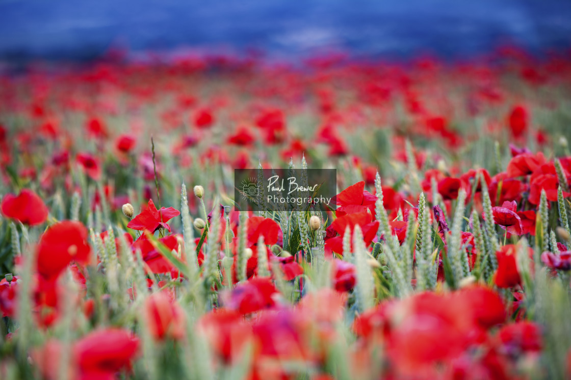 """""""Poppy Field just above Upwey near to Weymouth in Dorset"""" stock image"""