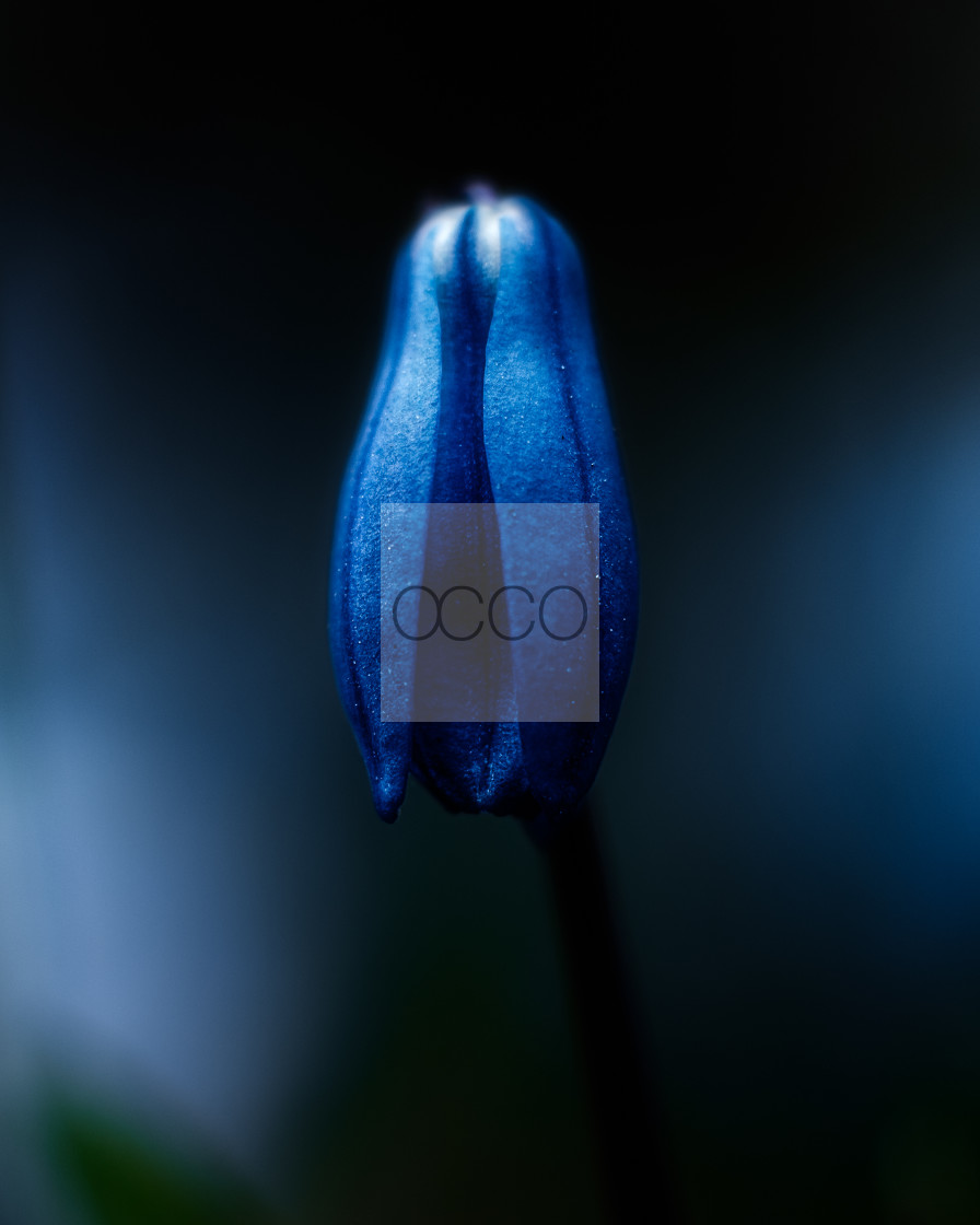 """""""A small blue flower sleeping"""" stock image"""