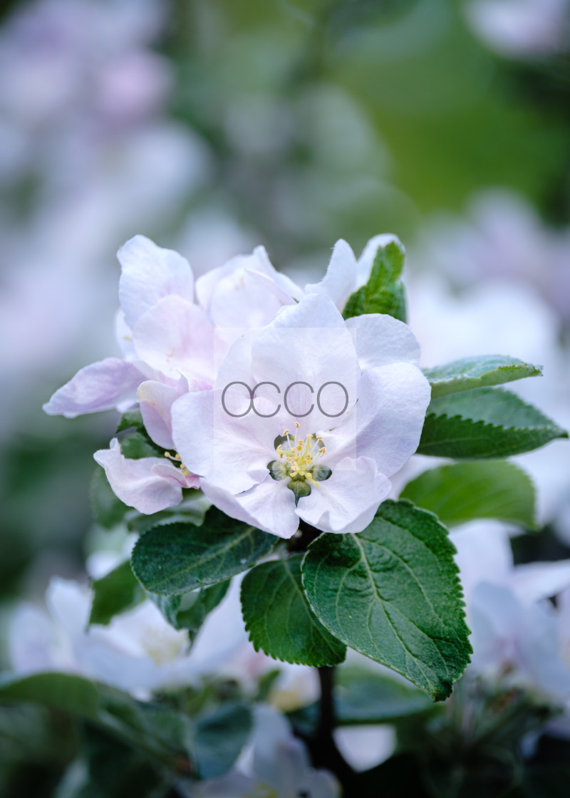 """""""Apple tree blossoming"""" stock image"""