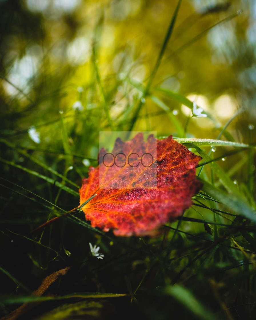 """Red leaf"" stock image"