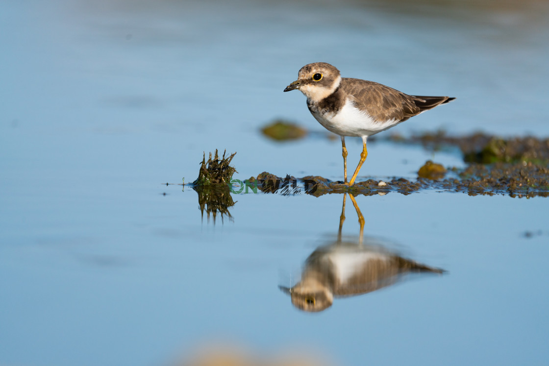 """""""Little Ringed Plover with perfect reflection"""" stock image"""