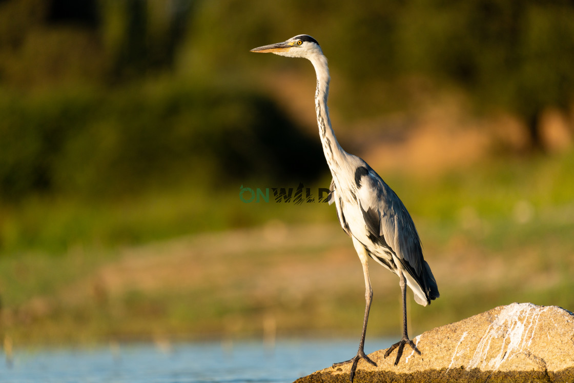 """""""Grey Heron (Ardea cinerea) on a rock with out of focus background"""" stock image"""