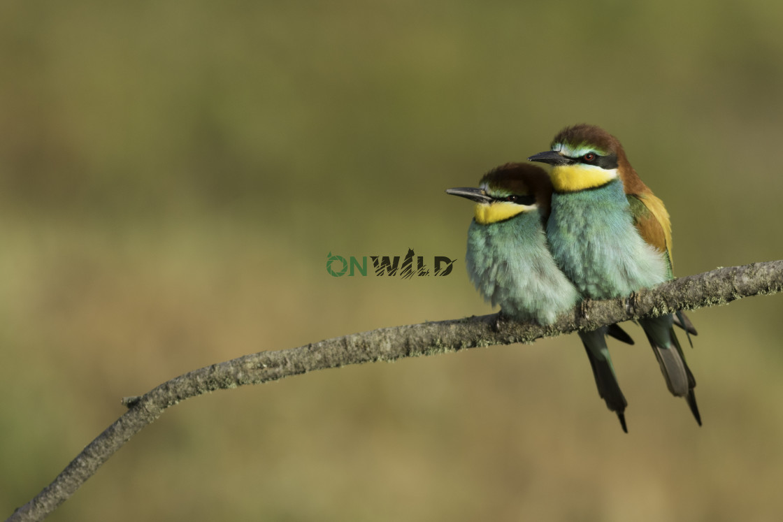"""""""European Bee-eater (Merops apiaster) couple standing together"""" stock image"""