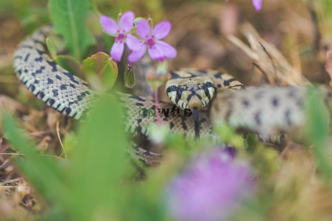 """Ladder snake (Zamenis scalaris) in its natural habitat"" stock image"