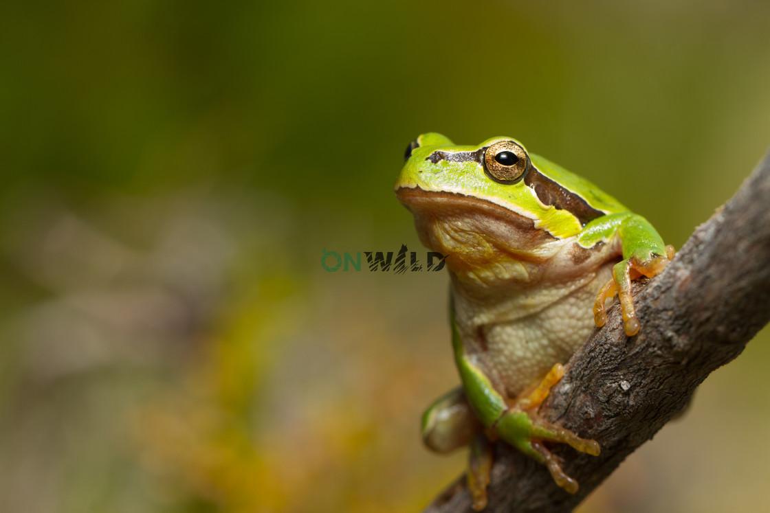 """Iberian Tree Frog (Hyla molleri) standing on small branch"" stock image"