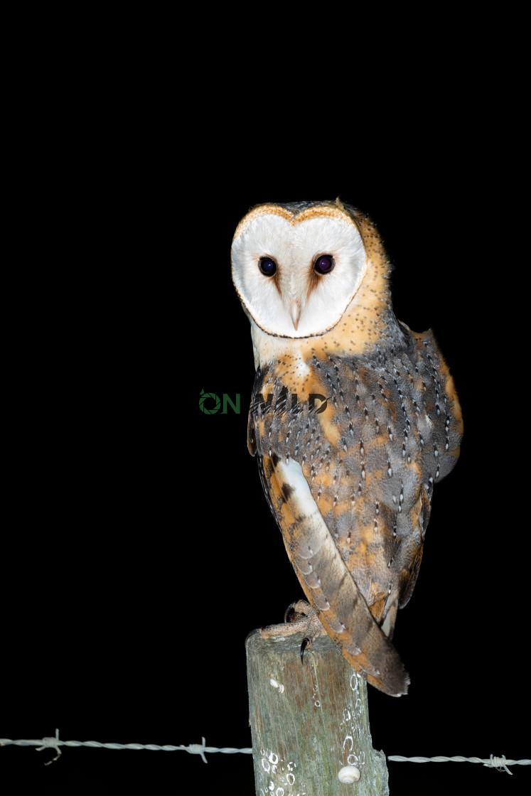 """Barn Owl (Tyto alba)"" stock image"
