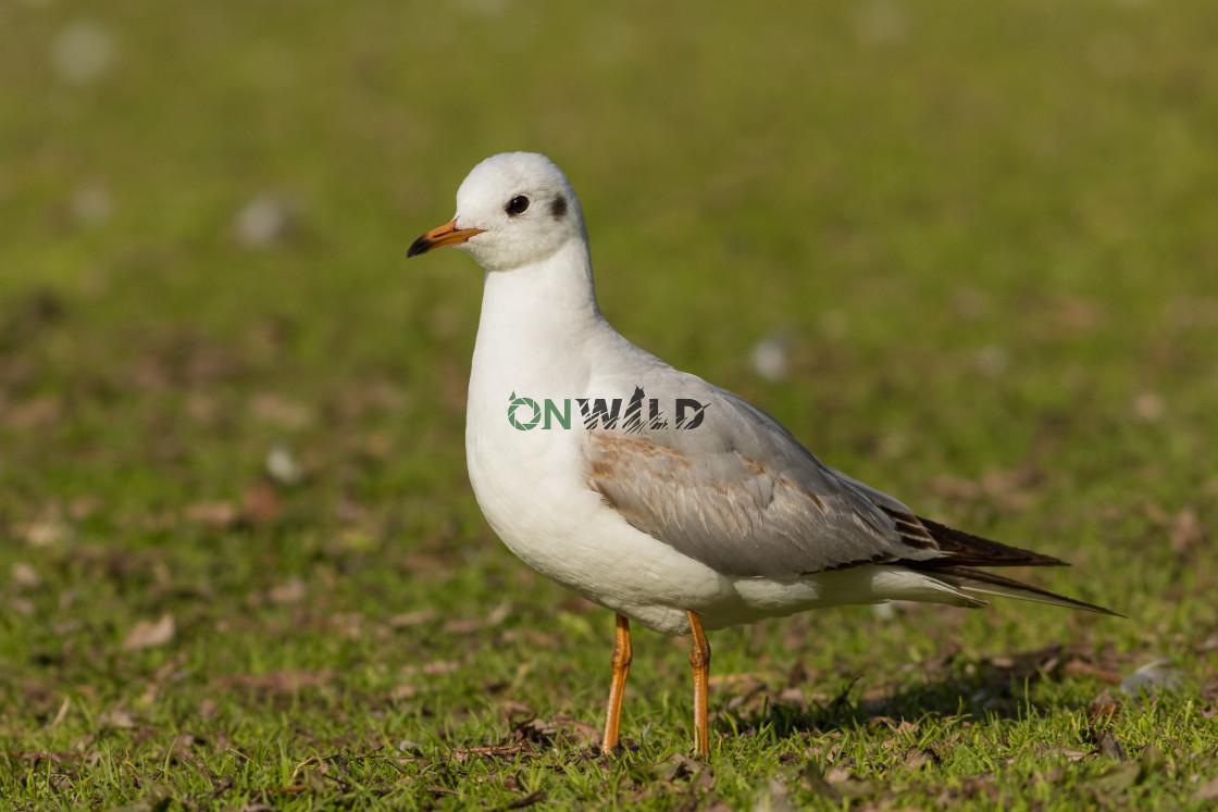 """Black-headed gull (Chroicocephalus ridibundus) resting in the grass near the water"" stock image"