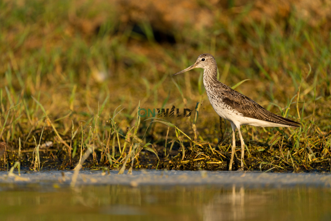 """""""Common greenshank (Tringa nebularia) in the shore looking for food"""" stock image"""