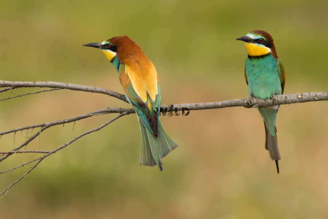 """""""European Bee-eater (Merops apiaster) couple on a branch"""" stock image"""