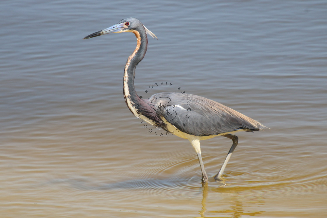 """""""Young Blue Heron Wading At The Beach"""" stock image"""