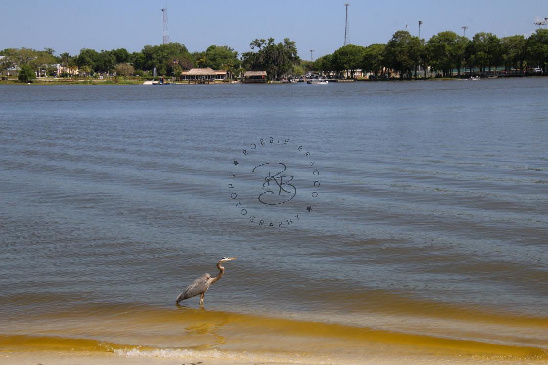 """Blue Heron Across The Water Venetian Gardens"" stock image"