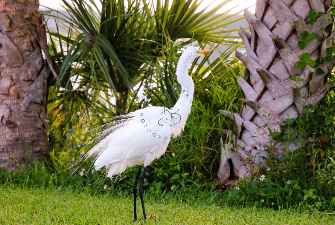 """""""White Great Egret Ruffling It's Feathers"""" stock image"""