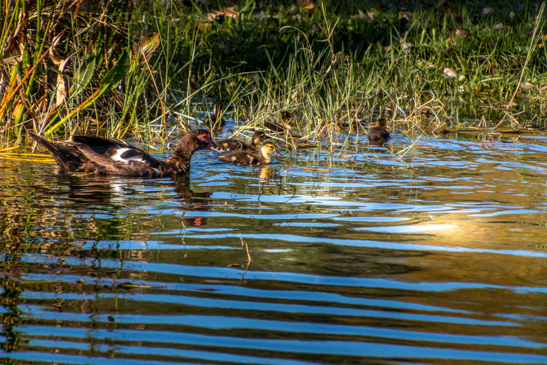 """""""MUSCOVY DUCKS WITH DUCKLINGS SWIMMING. HIGH RESOLUTION"""" stock image"""