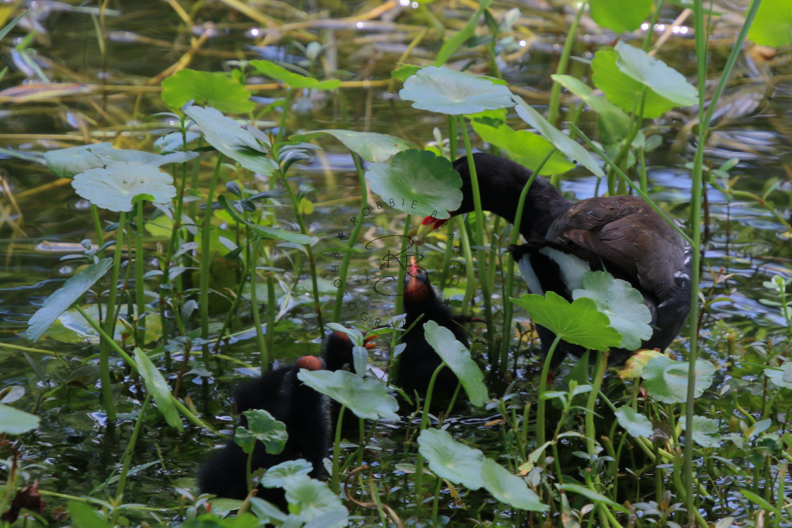 """""""Common Gallinule Or Moorhen Mother and Chicks"""" stock image"""