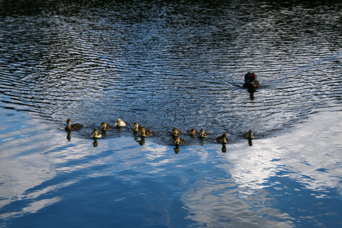 """""""MUSCOVY DUCKLINGS"""" stock image"""