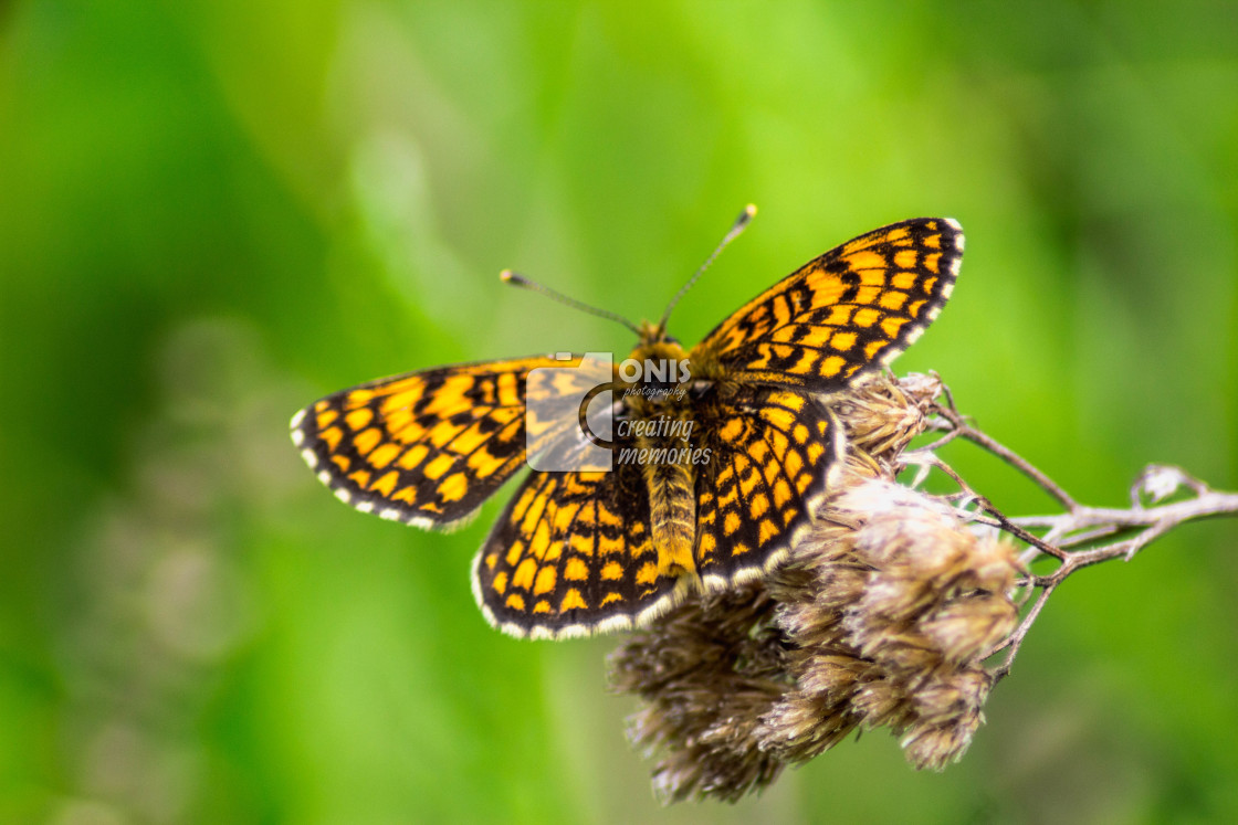 """""""Yellow Butterfly"""" stock image"""