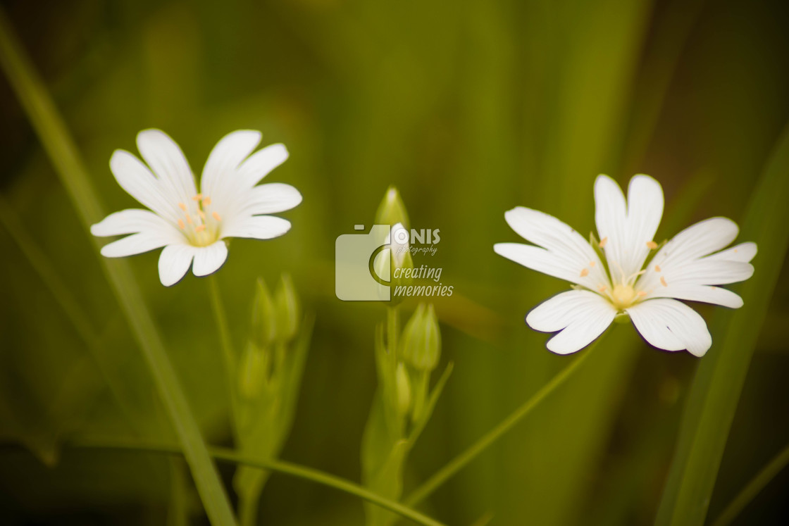 """Two Flowers"" stock image"