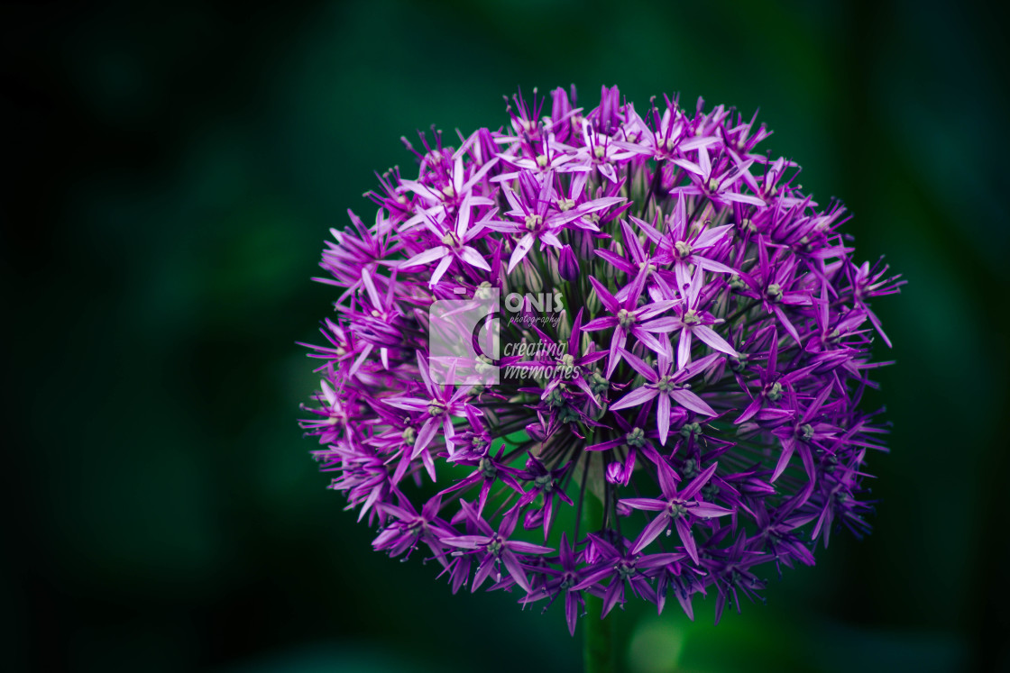 """Purple Flower"" stock image"