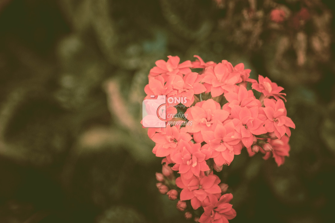 """Small Pink Flowers"" stock image"
