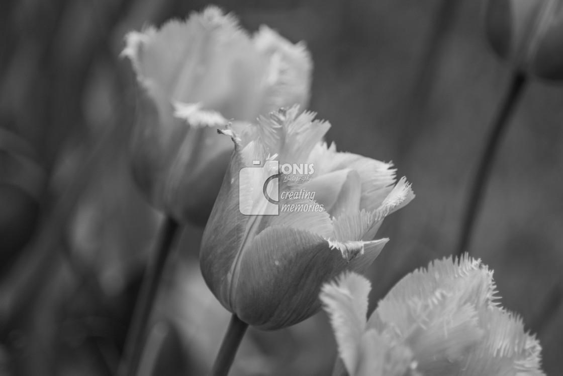 """Gray Flowers"" stock image"