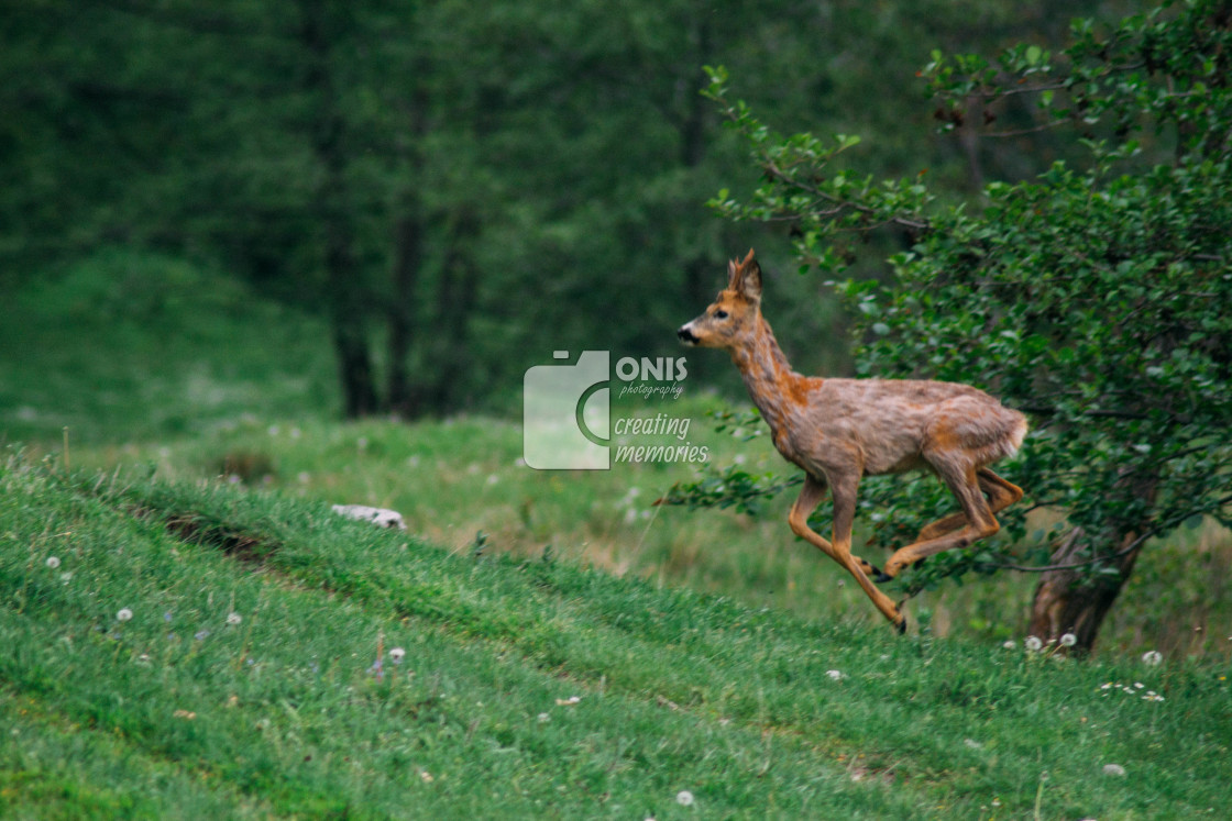 """Jumping Deer"" stock image"