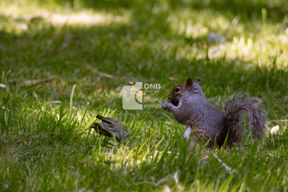 """Eating Squirrel"" stock image"